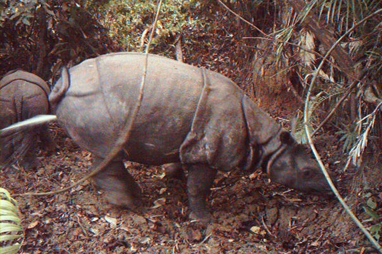 This handout picture recently released by Ujung Kulon National Park to AFP and taken in 2012 shows two rhinos at Indonesia's Ujung Kulon National Park.