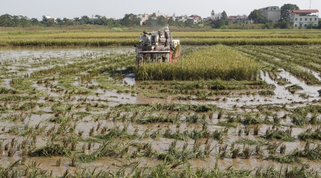 A man operates a rice harvester on a paddy rice field. ©Reuters