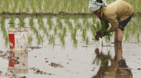 A farmer plants rice on a paddy field. ©Reuters