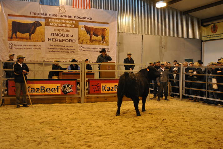 Cow in auction ring