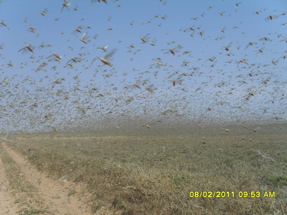 A locust swarm in Astrakhan, southern Russia.
