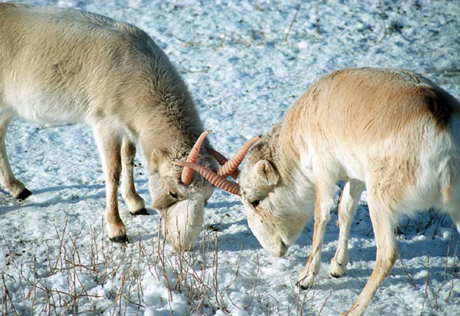 Kazakhstan to launch saiga antelope protection campaign