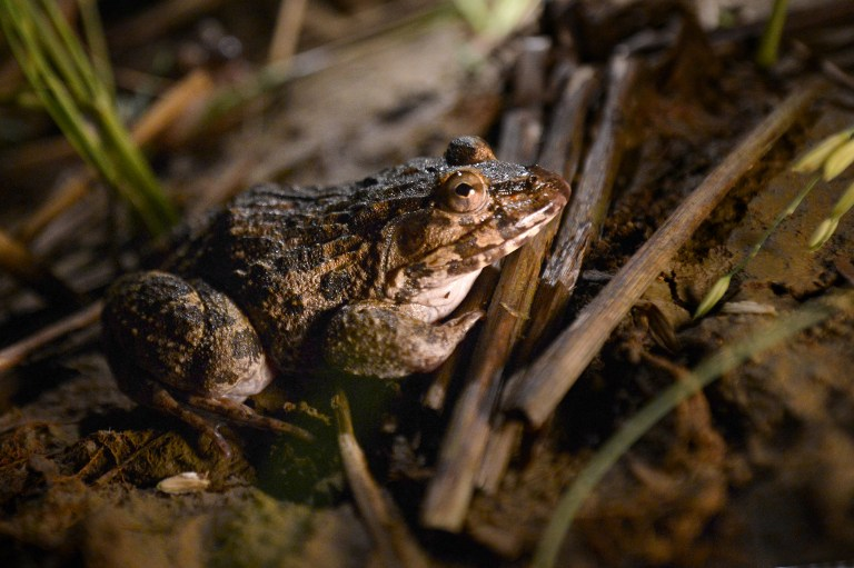 Frogs leap from Indonesian swamps to tabletops in France