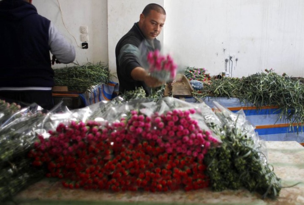 Palentinian farmer gathers flowers for sale ahead of the Valentines Day in southern Gaza Strip. ©Reuters