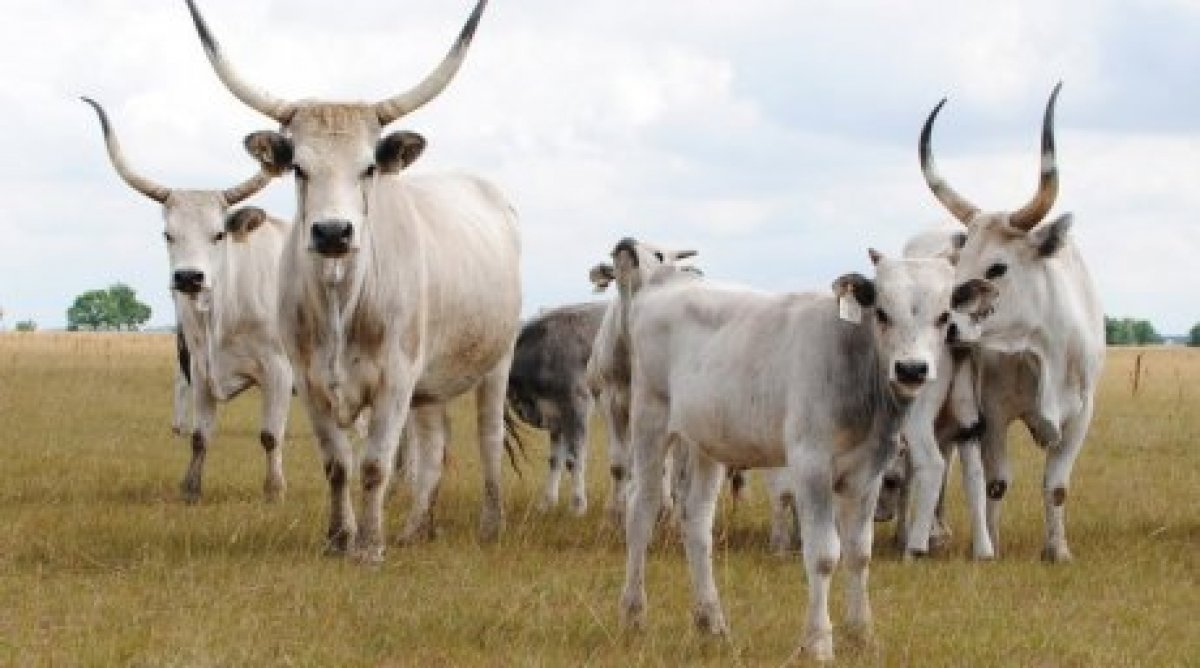 Hungary Offers Kazakhstan To Breed Rare Cattle