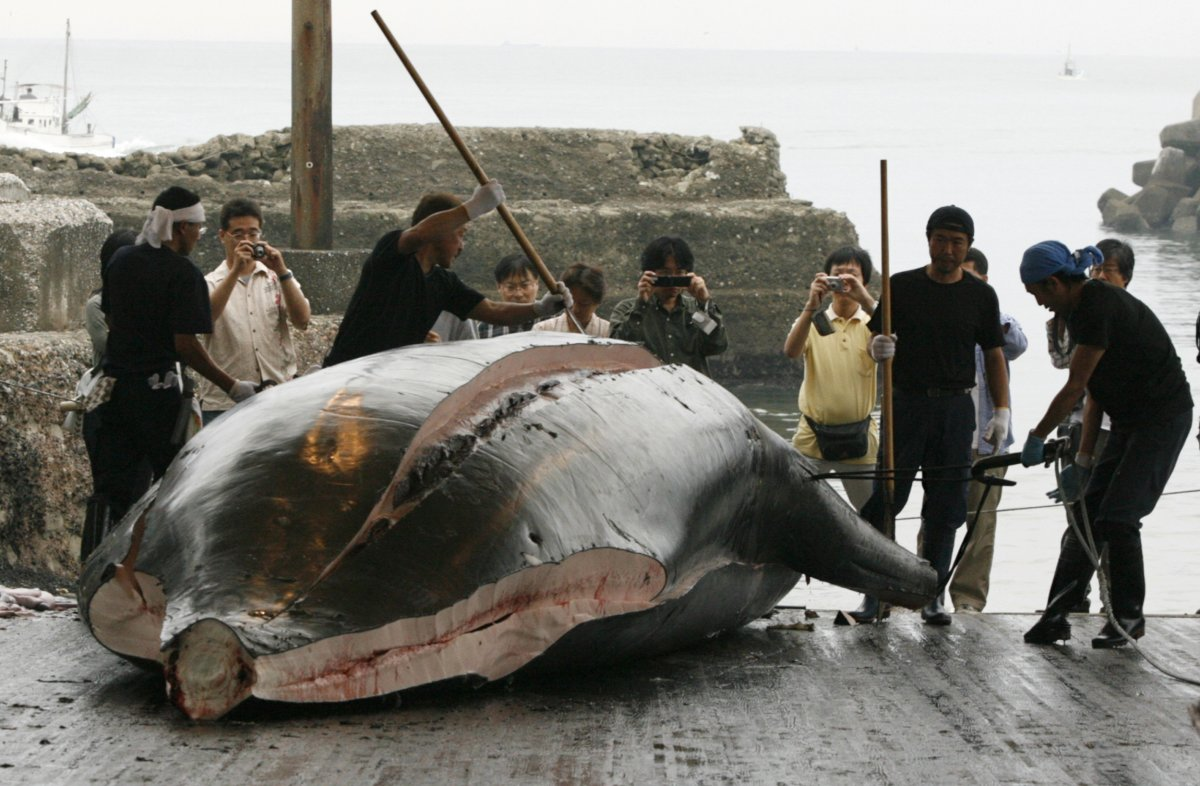 whaling in us compared to japan essay An analysis of preservation versus conservation: the future of whaling it is my goal with this essay to prove that great britain, the united states and the.