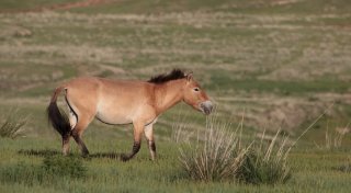 Przewalski's horse in the wild in Hustain Nuruu national park, Mongolia. ©flickr.com