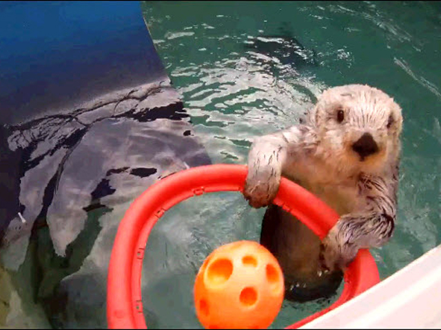 Eddie the sea otter is a fan of basketball
